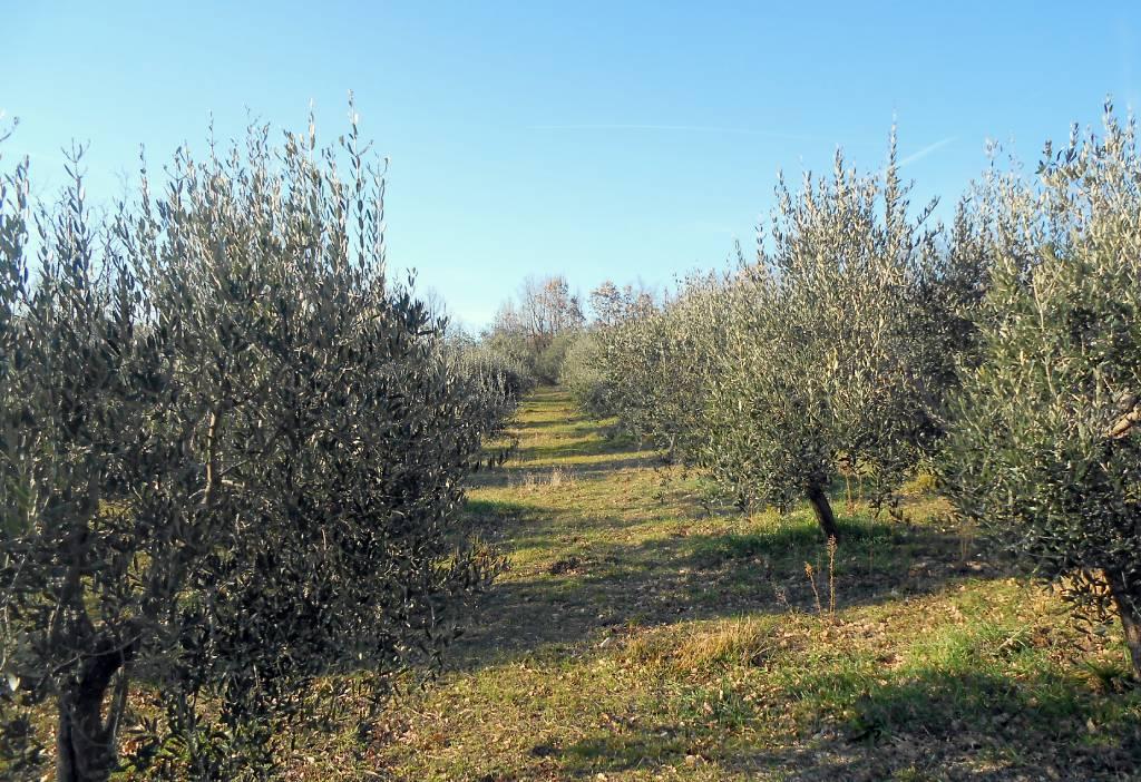 Oliveto Molise per la produzione di olio extra vergine