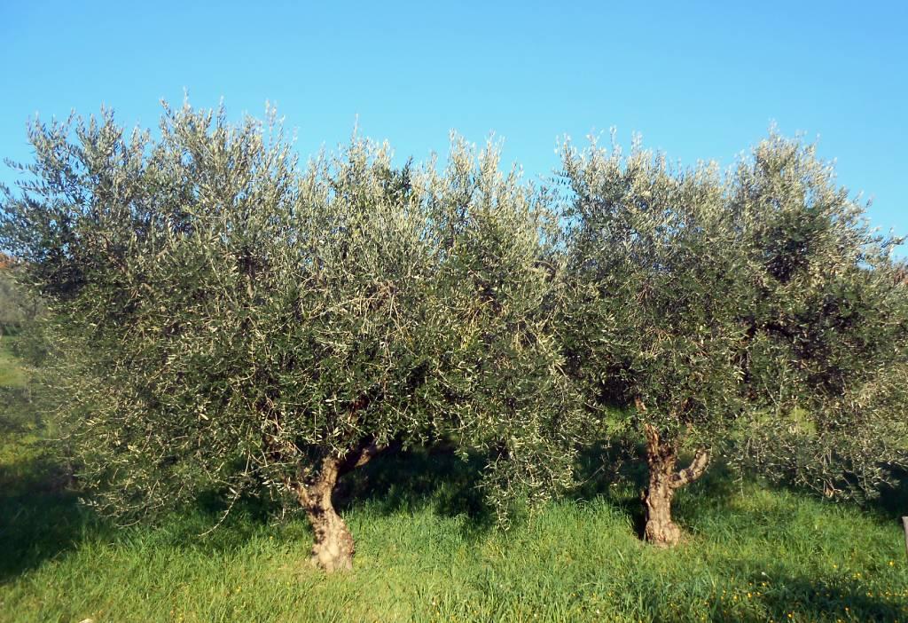 alberi di ulivo medio e basso molise