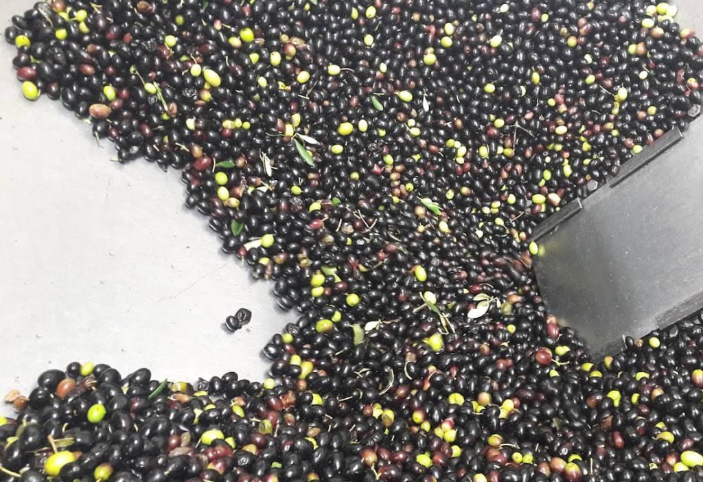 olive scelte appena raccolte pronte da macinare in frontoio oleificio